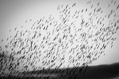 Brockholes November 2016-8331 (James Carlsson) Tags: d7200 starling brockholes nikon tamron 150 600mm murmuration