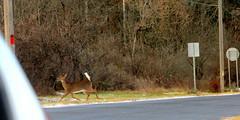 (timetomakethepasta) Tags: deer doe nature whitetail mammal animal outdoors morning new york photography sighting roadside crossing