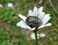 Oxythyrea sp (rockwolf) Tags: oxythyreasp cetoniinae scarabaeidae coleoptera beetle insect cétoine laboudinière labrenne indre france 2016 rockwolf