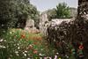 Lungo le mura (SDB79) Tags: mura pietre olivi fiori fioritura resti rovine villa adriana tivoli roma romani