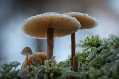 Gefrostet (AchimOWL) Tags: eis schnee reif gx80 pilz schrfentiefe natur nature lumix dmcgx80 olympus organisches muster ngc macrodreams mushroom fungi textur outdoor stack minipilze nrw deutschland