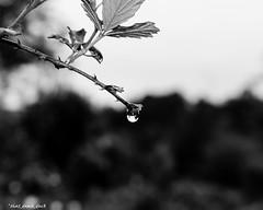 Large Raindrop (that_damn_duck) Tags: nature raindrop waterdrop treelimb bw blackwhite