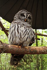 Barred Owl (ii) (sarah-sari19) Tags: june summer owl barredowl outside outdoors feathers feathered black grey brown winged perch leaves wise