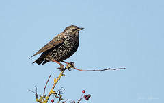 Starling (JustinTheWild) Tags: starling otmoor rspb perched winter sunshine iridescent plumage canon