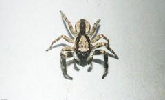 Menemerus bivittatus (dustaway) Tags: arthropoda arachnida araneae araneomorphae salticidae menemerusbivittatus male greywalljumper jumpingspider australianspiders lismore northernrivers nsw australia nature