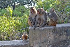 DSC_3468monkey (BasiaBM) Tags: swayambhunath monkey temple kathmandu nepal