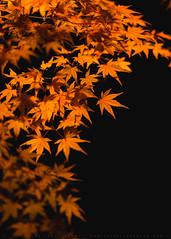 Autumn Flames (lestaylorphoto) Tags: japan tokyo autumn fall foliage travel leaves colors nikon d610 leslie taylor lestaylorphoto momiji maple japanese lantern illumination light rikugien garden orange glow