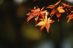 (kokemomiji) Tags: fujifilm xt10 industar industar61 industar61l3mc50mmf28   maple autumnleaves autumn red orange
