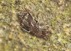 Leafhopper Nymph - Ledra aurita (Prank F) Tags: insect macro closeup rspb thelodge sandy bedfordshireuk wildlife nature bug leafhopper nymph ledraaurita