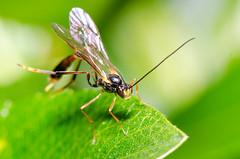 Msledda - Agrypon flaveolatum (KriK) Tags: macro yellow fly flying iceland nikon vespa wasp object ufo micro nikkor reykjavk f28 sland unidentified 105mm fluga d7000