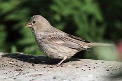 House-finch-adult-female_8444 (Warbler_King) Tags: finches housefinch illinoisbirds housefinchadultfemale