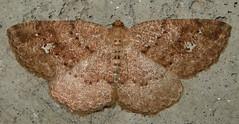 (Homochlodes lactispargaria) (corvid01) Tags: insect moth lepidoptera geometridae ennominae geometridmoth geometroidea lithinini dscn5449 palehomochlodes homochlodesfritillaria homochlodes hodges6812 homochlodeslactispargaria