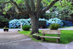 Banco (Arimm) Tags: park blue flower tree grass bench wagon hydrangea hortensia macrophylla arimm