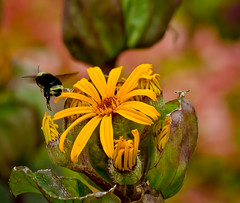 Stop over. (Omygodtom) Tags: wild summer orange macro art nature yellow bokeh bee tamron90mm dk7