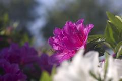 Azalea Flower (alcidesota@yahoo.com) Tags: nikon d3s cabodevassoura nikond3s