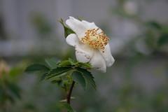 Rosa minutifolia - Botanischer Garten Jena (Ruud de Block) Tags: rosa rosaceae botanischergartenjena jenabotanicalgarden rosaminutifolia ruuddeblock