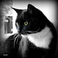 Cortez (Cajaflez) Tags: portrait blackandwhite pet cat kat chat zwartwit tuxedo katze cortez portret gatto huisdier kater tomcat fabuleuse mygearandme mygearandmepremium mygearandmebronze mygearandmesilver mygearandmegold mygearandmeplatinum vpu4
