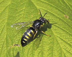 Sand Wasp (milesizz) Tags: wisconsin milwaukee wi apoidea sandwasp crabronidae bicyrtes sandwasps bembicinae apoidwasps bembicini sphecida bicyrtesquadrifasciatus bembicina
