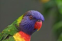 lorikeet (Darts5) Tags: bird birds lorikeet lorikeets australianbird australianlorikeet