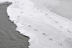 Who's Been Here? (USFWS Mountain Prairie) Tags: bear winter snow bird river utah migratory usfws refuge fws brmbr