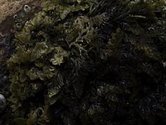 Laurencia pinnatifida (BeachcomberCo) Tags: algae rhodophyceae laurenciapinnatifida pepperdulce