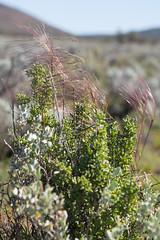 seg expedition to hiltaba reserve - aug 2013 - 033 8250765 (liam.jon_d) Tags: macro digital ed south australian seed australia study fieldtrip seedhead outback sa 60mm southaustralia survey f28 seg pennants fieldsurvey eyrepeninsula gawlerranges 60mmf28macro speargrass billdoyle nfsa austrostipa austrostipaelegantissima mzuiko elegantspeargrass mzuikodigitaled60mmf28macro olympus60mmf28macro hiltaba naturefoundation naturefoundationsa scientificexpeditiongroup