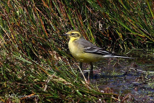 """Citrine Wagtail, Lower Moors Aug 2013 (M.Goodey) • <a style=""""font-size:0.8em;"""" href=""""http://www.flickr.com/photos/30837261@N07/9731732222/"""" target=""""_blank"""">View on Flickr</a>"""