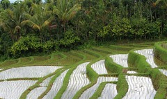Rice Terraces,Tabanan,Bali (scinta1) Tags: trees bali green water lines palms view rice rows hillside riceterraces tabanan 2013