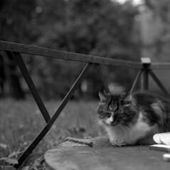 Sleepy Cat (El Ramonito) Tags: blackandwhite bw white black 120 zeiss cat photography photo blackwhite kodak tl trix jena sleepy 400 carl ddr medium format pentacon six kodaktrix400 pentaconsixtl 2880 biometar 8028