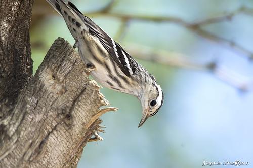 Reinita Trepadora (Black-and-white Warbler)