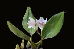 Bifrenaria harrisoniae alba - 5 (Luiz Filipe Varella) Tags: flowers brazil white flores orchid rio grande klein do alba orchidaceae brazilian species filipe var sul luiz varella gachas brancas bifrenaria harrisoniae bifrenarias