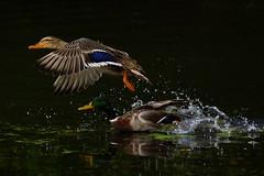 DSC00278 -  Mallard (steve R J) Tags: birds hall duck estate flight marks explore british mallard tey