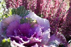 Höstblommor (EvasSvammel) Tags: fioridautunno höstblommor 365foton