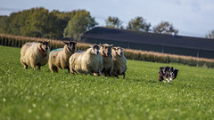 This Way, Ladies... (Bas Bloemsaat) Tags: collie sheep sheepdog border trial herding dongen