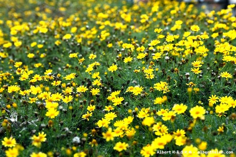 雲林口湖:路邊小花