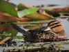 Nomonyx dominicus / Pato enmascarado / Masked Duck (female) (felixú) Tags: anatidae maskedduck nomonyxdominicus nomonyxdominica