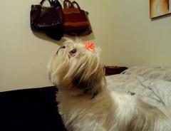 LOLA (dirceu1507) Tags: dog dogs shihtzu perro cachorro perros cachorros