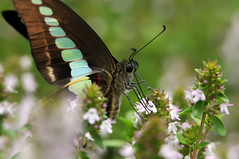 The Common Bluebottle (naruo0720) Tags: butterfly 蝶 lemonthyme チョウ アオスジアゲハ graphiumsarpedon abigfave thecommonbluebottle 青条揚羽 レモンタイム クロタイマイ commonbluebottlebutterfly