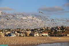 PDR1004 (mcshots) Tags: california travel autumn homes sky usa seagulls storm beach nature rain birds clouds sand afternoon stock flight neighborhood socal mcshots pdr losangelescounty