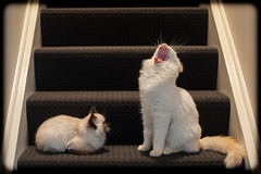 """Hey dude! Check out my teeth!"" (Craig Jewell Photography) Tags: stairs cat kitten diesel milo teeth steps yawn australia kittens 50 f25 ragdoll chocolatepoint iso1250 flamepoint ef50mmf14usm 2013 0ev canoneos5dmarkii ¹⁄₅₀sec filename20131227161536mg8263cr2"