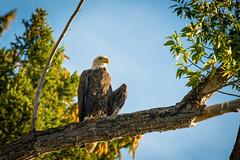 DSC_1592.jpg (gebl) Tags: usa birds nationalpark baldeagle wyoming grandteton