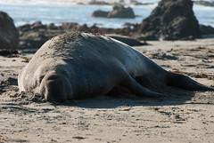 20140102_0682 (Fangs4u) Tags: ocean california bigsur pacificocean westcoast elephantseal