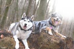 Sam & Nala (ToniHinke Fotografie) Tags: blue eyes husky sam shepherd australian siberian nala tonihinkefotografie