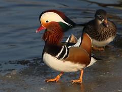 Mandarin Duck (Ger Bosma) Tags: mandarinduck aixgalericulata mandarinente mandarijneend canardmandarin patomandarn patomandarim anatramandarina  mygearandme mygearandmepremium mygearandmebronze mygearandmesilver 2mg10682
