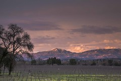 Mustard and Snow (Tom Moyer Photography) Tags: california sunset vineyard mustard sonomacounty vision:sunset=081 vision:mountain=0679 vision:clouds=099 vision:outdoor=0988 vision:sky=099