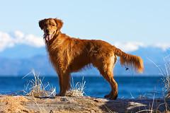Max 2 (ian_beatty) Tags: dog animal goldenretriever britishcolumbia sointula malcolmisland