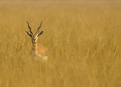 Solitary (PS Anand) Tags: wild india black nature animals golden nikon wilderness nikkor buck grassland rajasthan chinkara greatnature parvinder natgeomomen