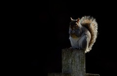 Grey Squirrel (Benjamin Joseph Andrew) Tags: