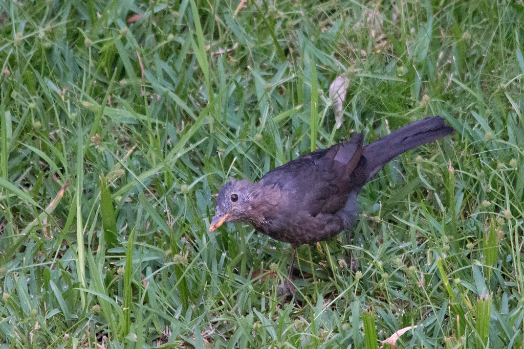 Female Common Blackbird - Garajau, Madeira, Portugal