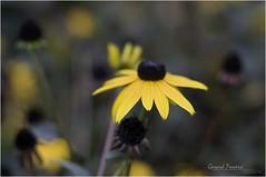 Black-Eyed_2 (MadoneRider) Tags: painterly flower photoshop painting susan bokeh cc oil rudbeckia effect asteraceae blackeyed hirta
